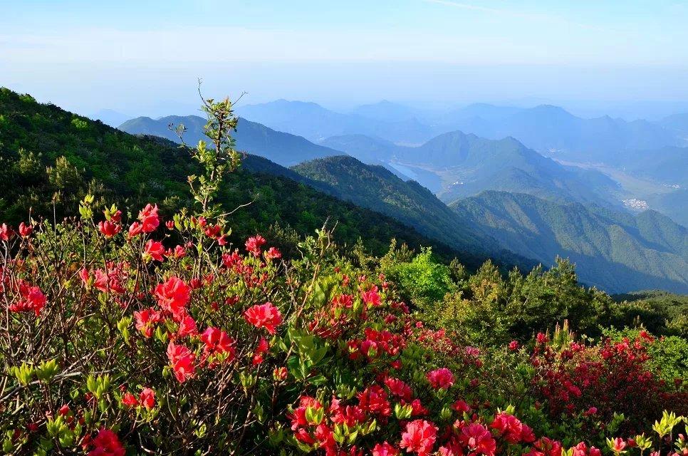 【婺源五龙山--杜鹃花盛开的地方】    四月的五龙山,杜鹃花开了,漫山遍野,一丛丛,一簇簇,在蓝天下绽放笑靥。纤细的枝苗撑起华盖般美丽的花伞,殷红似火,像红绸舞动,又像燃烧的朝霞,五彩缤纷,各具风姿。密密匝匝,竞相辉映,看得让人眼花缭乱,赞不绝口。放眼望去那一团团楚楚动人的浪漫红花,真可谓是霞光焰焰山枝动,绿野声声杜林来。 五龙山位于赣皖两省交界,主峰1580米,山高地沃,雨量充沛,山体宽绵延小山如诸候朝圣般圃伏在周围,终年云雾起舞,壮如五龙,故得名。春天的五龙山,绿意盎然,山花烂漫,曲曲的山涧泉水,